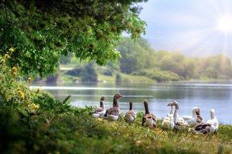 countrysidewild-geese-3379677_640